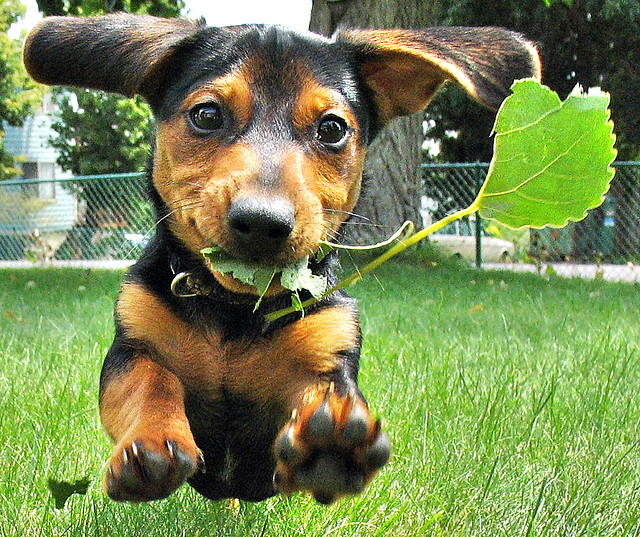 cute, dachshund, dog, grass - inspiring picture on Favim.com