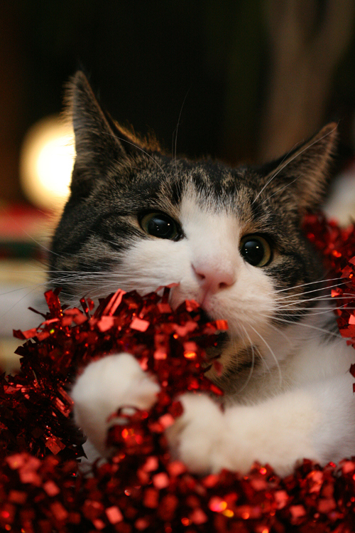 animal, cat, christmas, cute, kitten