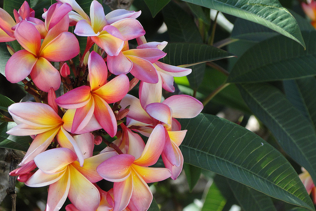 flowers, frangipani, green, nature, pink