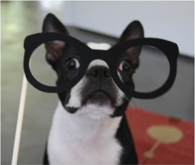 adorable, beautiful, boston terrier, cute, dearpenny, dog, girl, glasses, hipster dog, lmfao, lol, love, photo, photography, pretty, sarah orzechowski