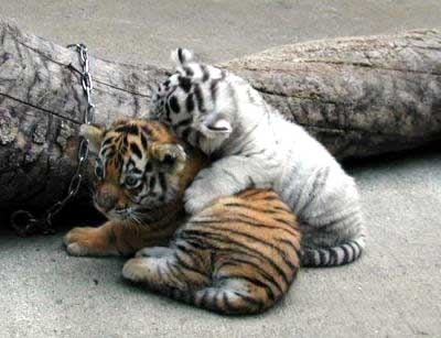 adorable, cubs, orange, tiger, white