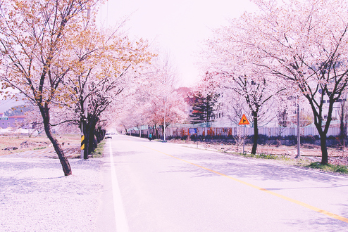 cherry blossoms, floral, flowers, photography, road, trees
