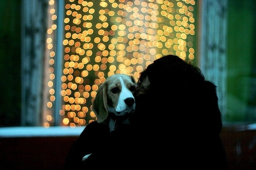 beagle, brunette, christmas lights, color, cute