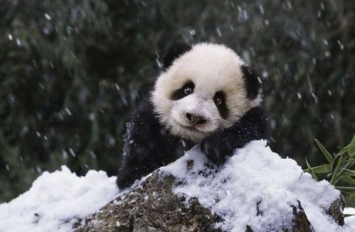 baby, baby panda, cute, cute smile, little